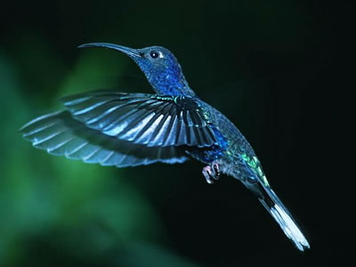 http://www.hummingbirds.net/images/oomen1.jpg