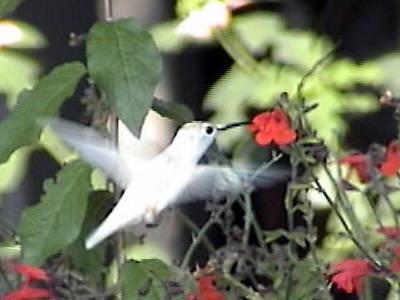 ruby throated hummingbird juvenile