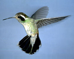 White-eared female